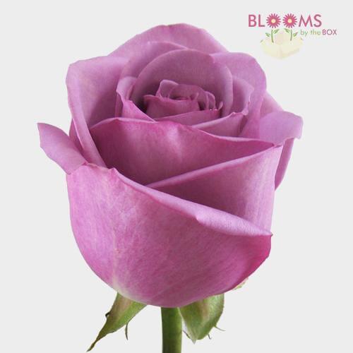 Rose Cool Water Lavender 40cm