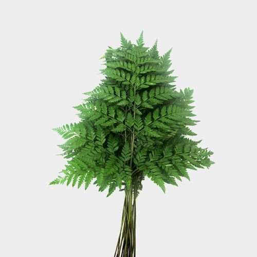 Leather Leaf Fern Greenery