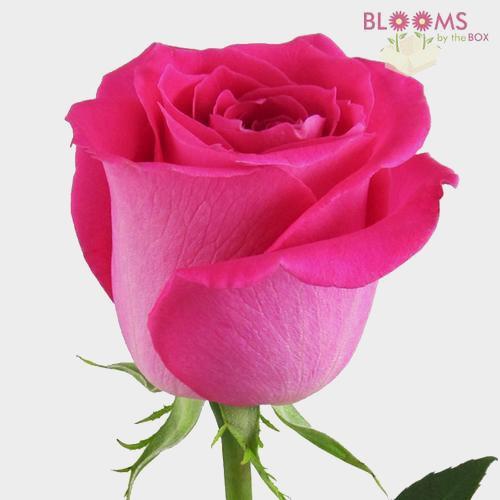 Hot Pink Rose 60 cm.