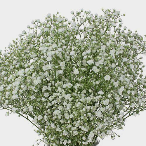 Gypsophila Overtime Flowers