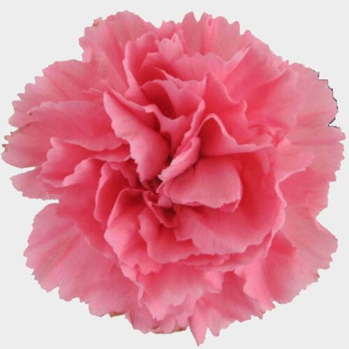 Pink Carnation Flowers - Fancy