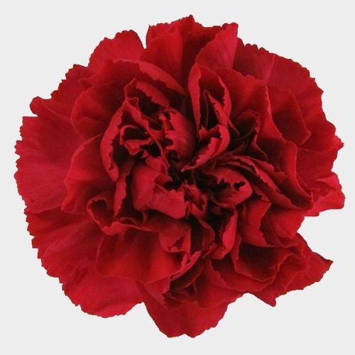 Red Fancy Carnation Flowers