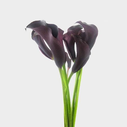 Calla Lily Mini Black Flower
