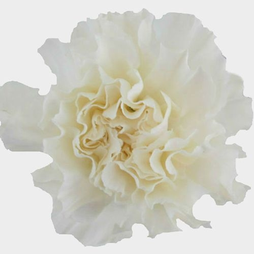 White Fancy Carnation Flowers