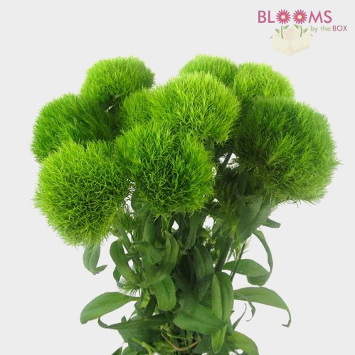 Dianthus Green Trick