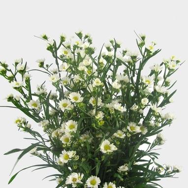 Monte Aster White Flower