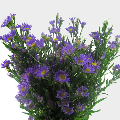 Monte Casino Aster Purple Flowers