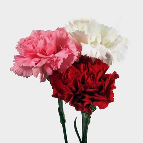Valentines Day Carnation Pack - Red/White/Pink