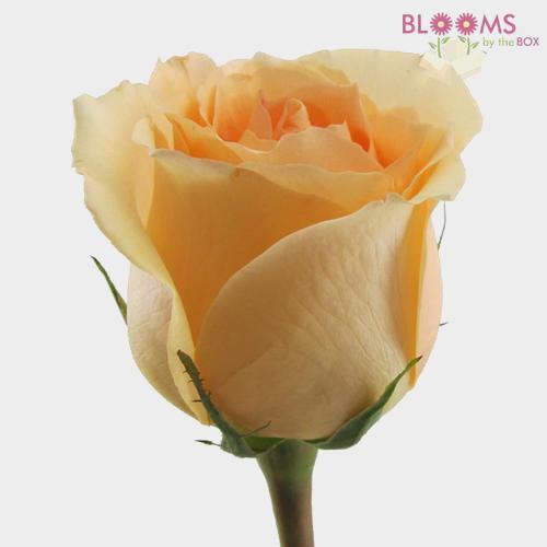 Peach Rose 60 cm.
