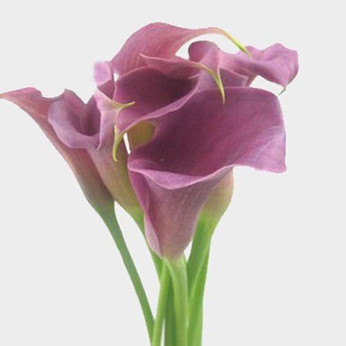 Calla Lily Mini Lavender Flower