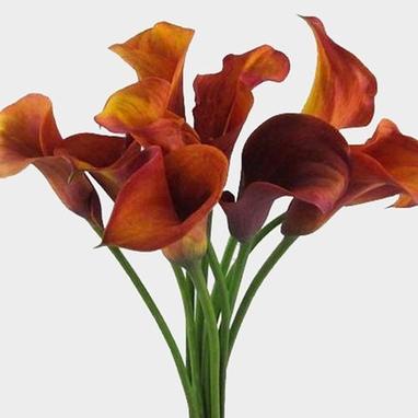 Mini Calla Lily Mango Orange Wholesale Blooms By The Box