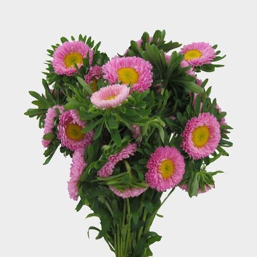 Matsumoto Aster Pink Flowers