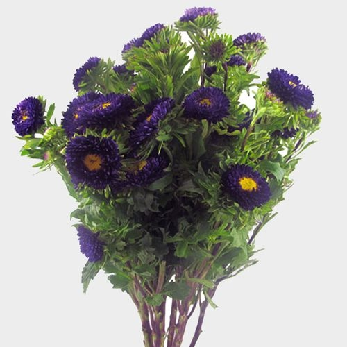 Matsumoto Aster Purple Flowers