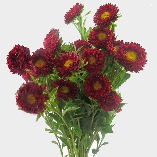 Matsumoto Aster Red Flowers