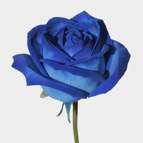 Rose Blue Vendela 60cm