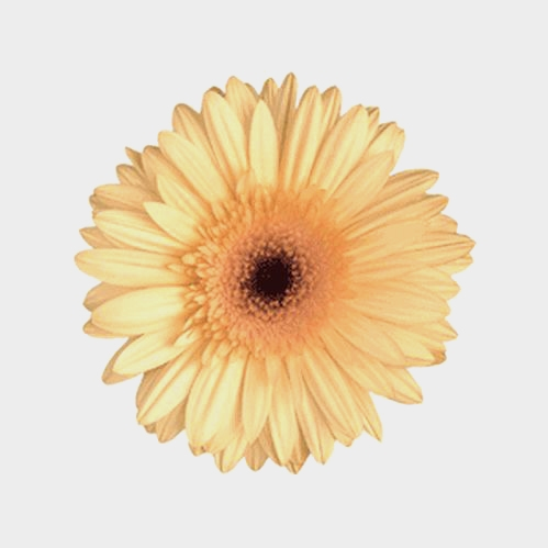 Mini Gerbera Daisy Cream Flower