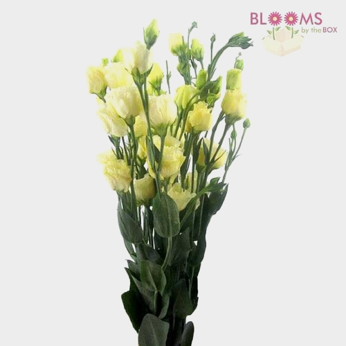 Cream Lisianthus Flower