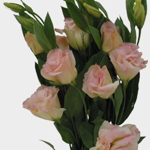 Peach Lisianthus Flower