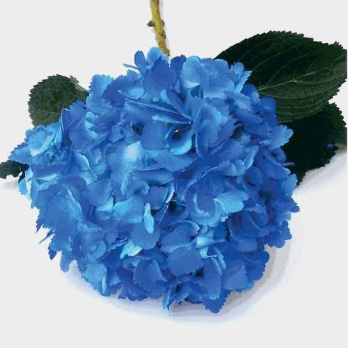 Spray Tinted Hydrangea - Dark Blue