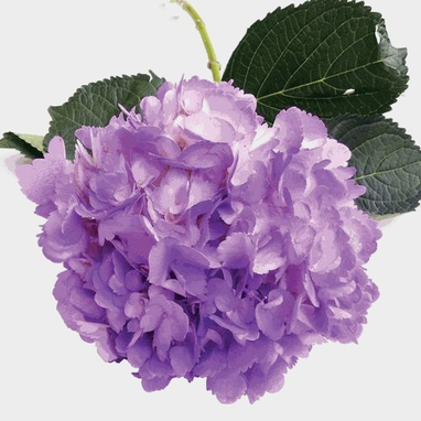 Spray Tinted Hydrangea Flower Lavender Wholesale Blooms By