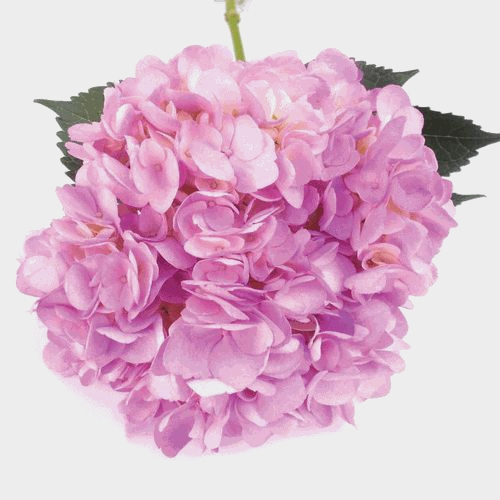 Spray Tinted Hydrangea Flower - Light Violet