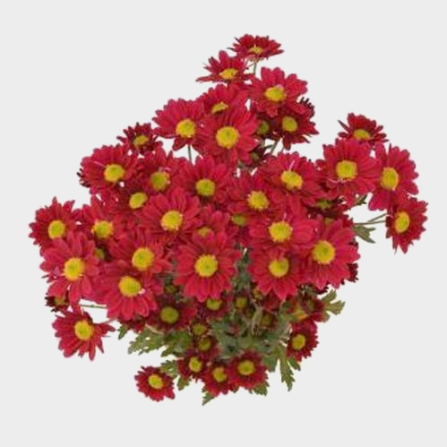 Pompon Daisy Red Flowers