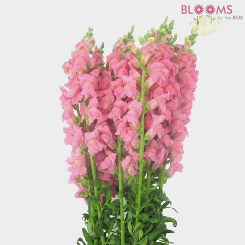 Snapdragon Pink Flowers