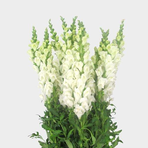 Snapdragon White Flower