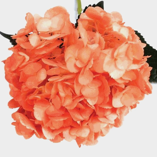 Spray Tinted Hydrangea Flower - Orange