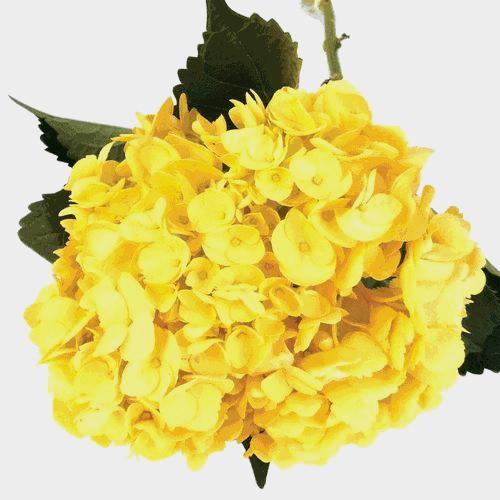 Spray Tinted Hydrangea Flower - Yellow