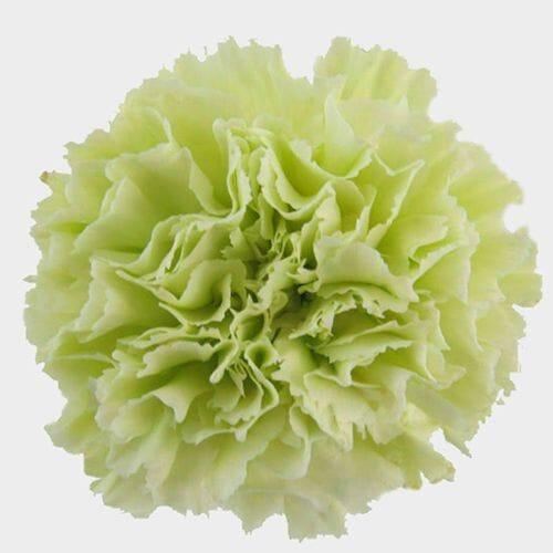 Carnations Fancy Green Flowers