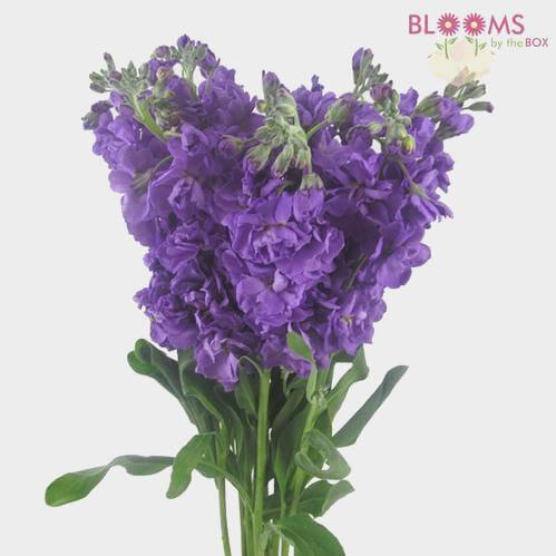 Stock Mid Blue Flower