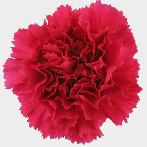Hot Pink Carnation Flowers - Fancy