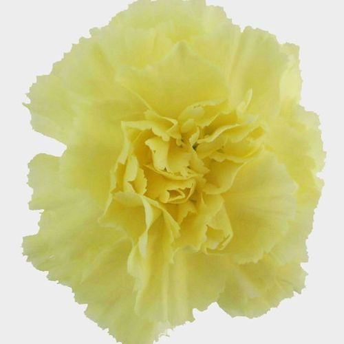 Yellow Carnation Flower - Fancy