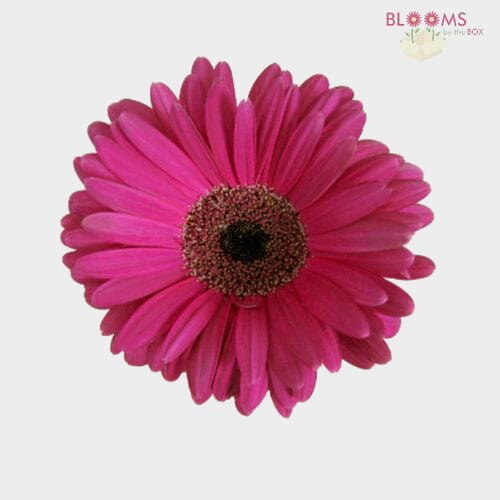 Mini Gerbera Daisy Hot Pink Flower