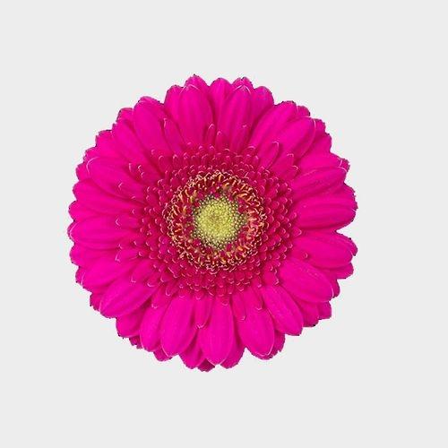 Mini Gerbera Daisy Hot Pink Flower
