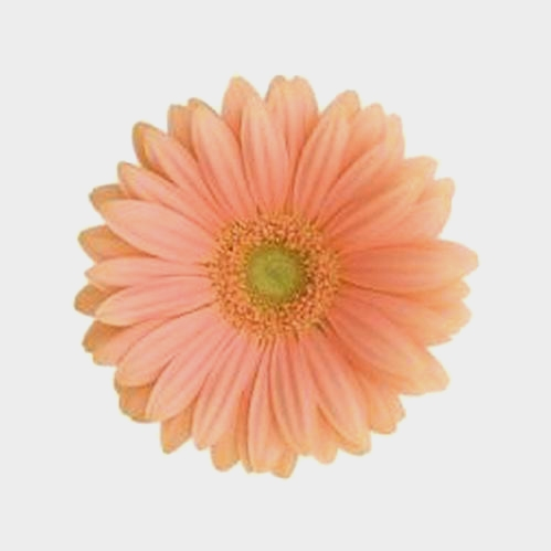 Mini Gerbera Daisy Peach Flower