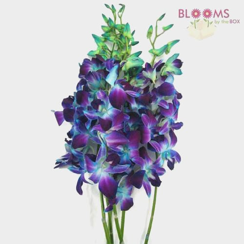 Dendrobium Dyed Blue Large Flower