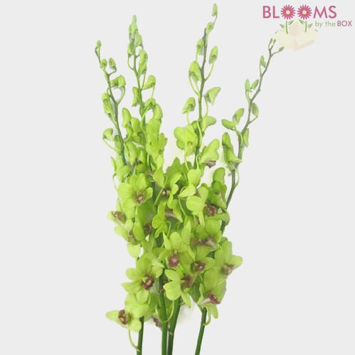 Dendrobium Orchid Green