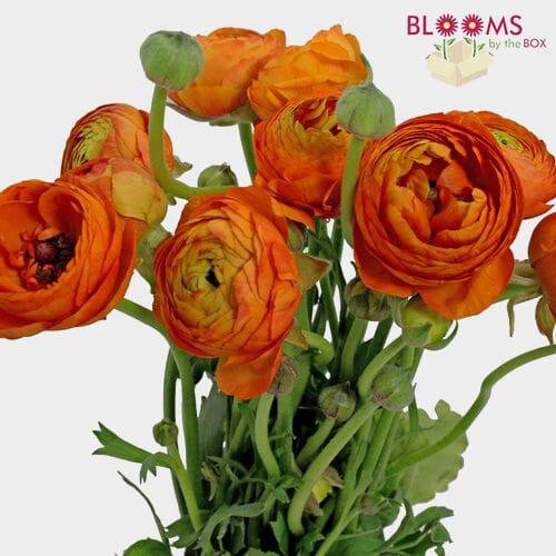49f2d5b9f08 Orange Ranunculus Flower - by the bunch