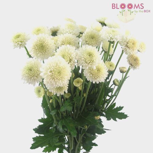 Pompon Button White Flower