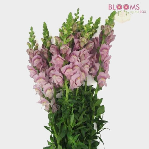 Snapdragon Lavender Flower