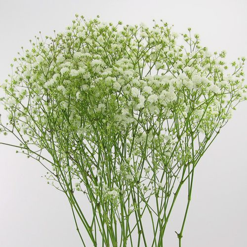 Gypsophila Million Star Flowers