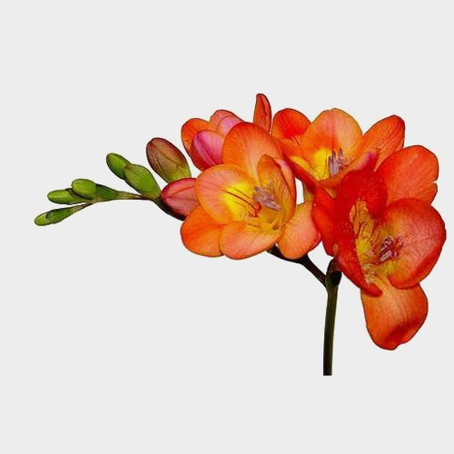 Orange Freesia Flower