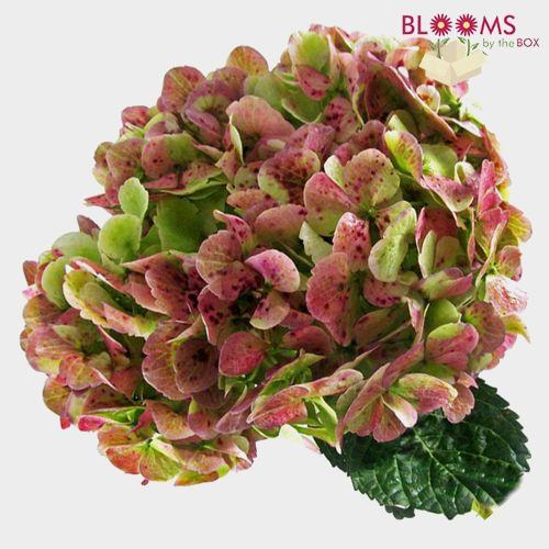 Hydrangea Green Antique Flower
