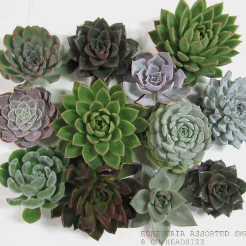 Assorted Medium Succulents 9cm