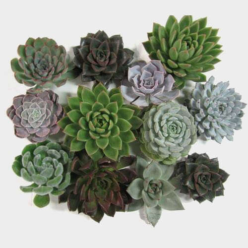Assorted Large Succulents 12cm