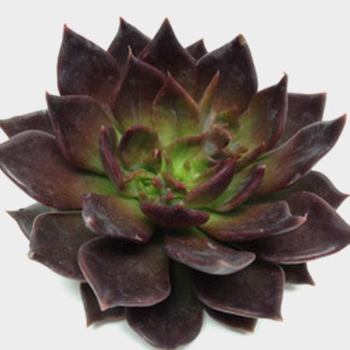 Black Prince Medium Succulents 10cm