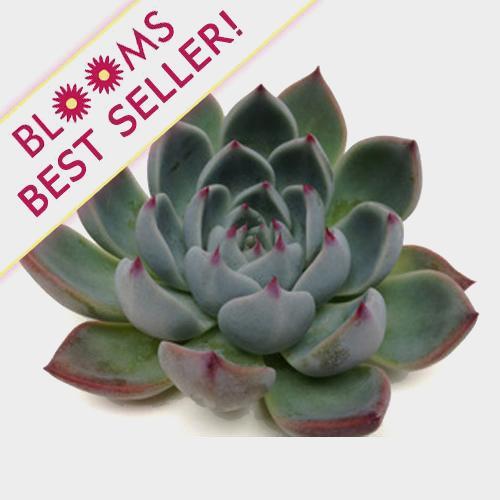 Lindsyana Medium Succulents 9cm