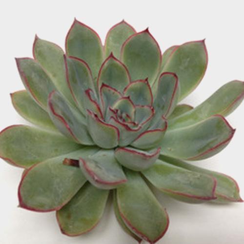 Rondo Medium Succulents 9cm